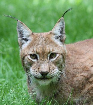 Wildpark-MV_Luchs, © Wildpark-MV